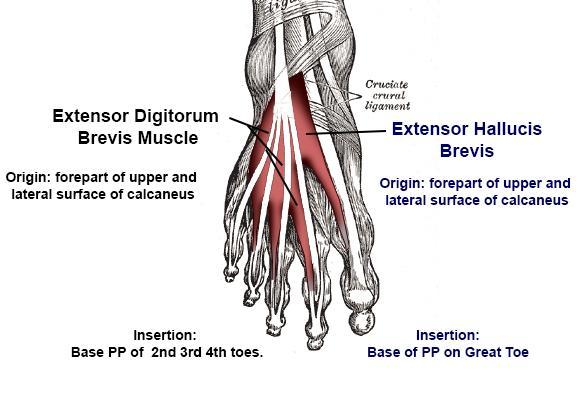 Extensor Digitorum Hallucis Brevis Anatomy Orthobullets
