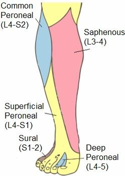 Superficial peroneal nerve anatomy orthobullets majority of skin on the dorsum of foot excluding webspace between hallux and second digit deep peroneal nerve ccuart Choice Image