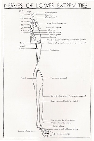 Superficial Peroneal Nerve Anatomy Orthobullets