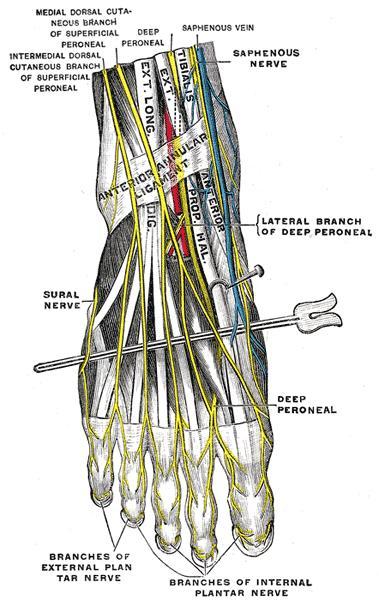 Sural nerve - Anatomy - Orthobullets