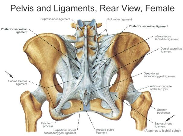https://upload.orthobullets.com/topic/1033/images/posterior pelvis with ligaments.jpg