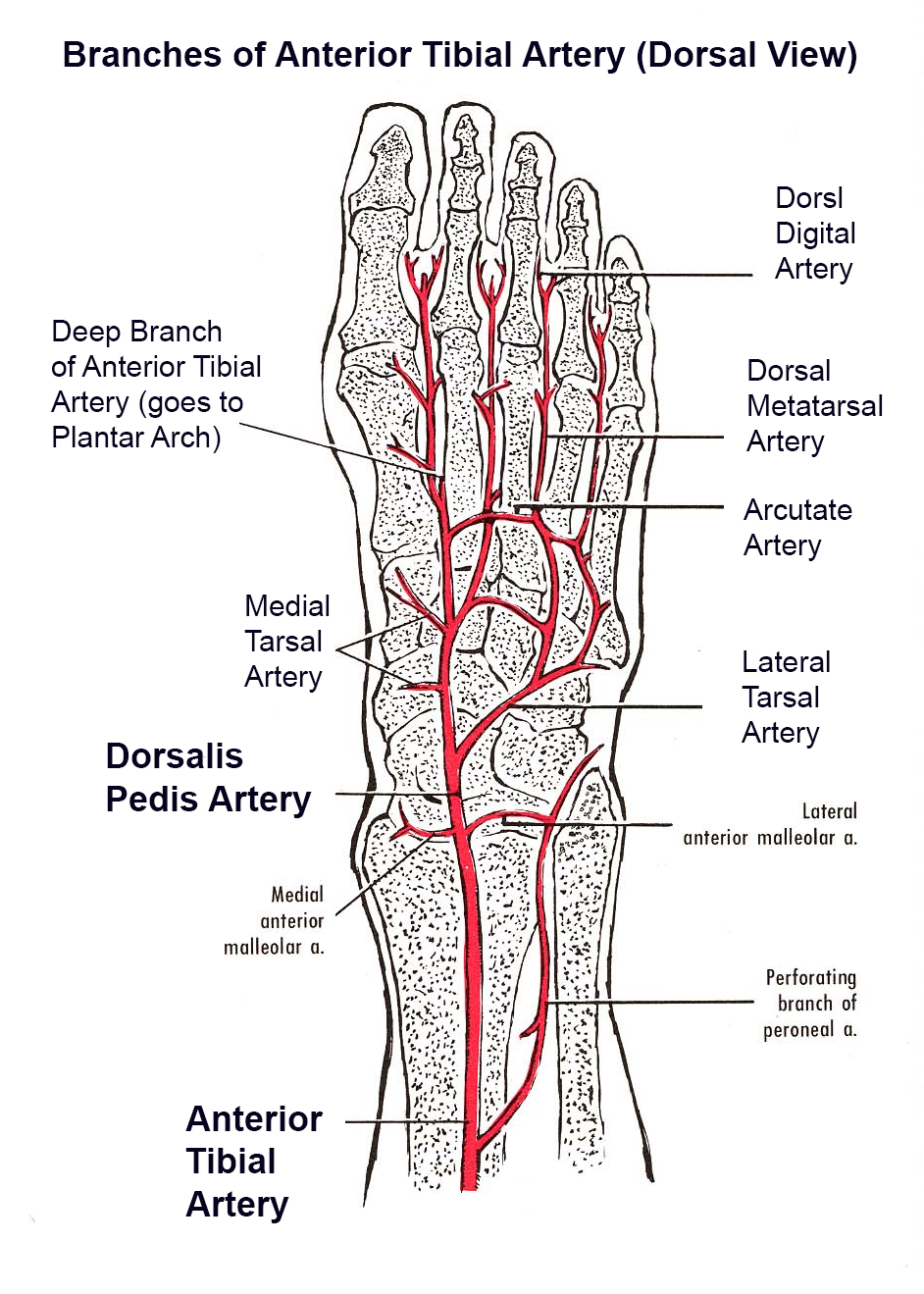 Blood Supply to the Foot - Foot & Ankle - Orthobullets
