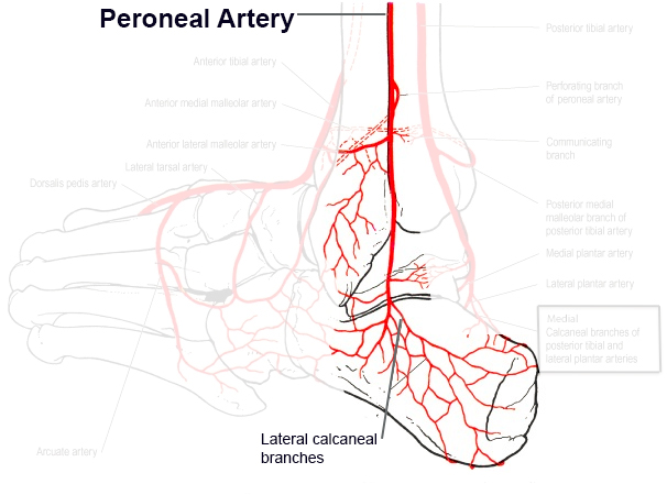 https://upload.orthobullets.com/topic/12114/images/peroneal_artery.jpg