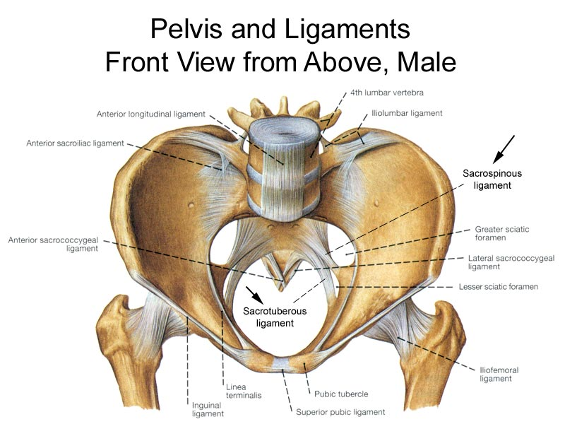 Pelvis Anatomy - Recon - Orthobullets