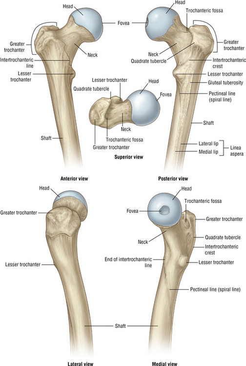 Hip Anatomy Recon Orthobullets