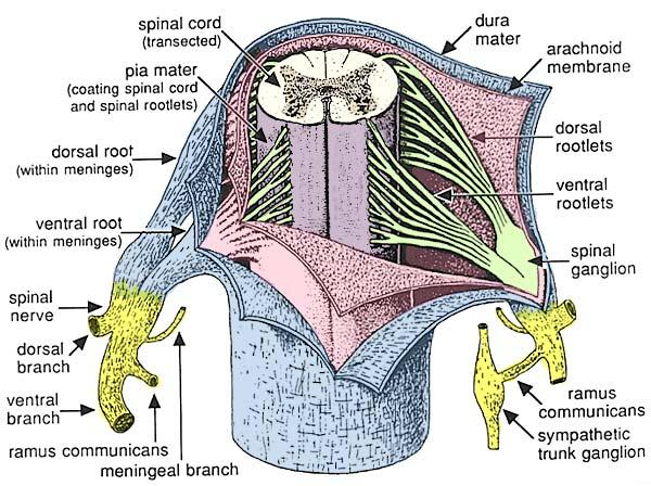 Spinal Cord Anatomy - Spine - Orthobullets