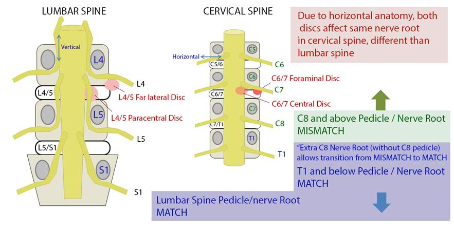 Cervical Spine Nerves Diagram - Electrical Drawing Wiring Diagram •