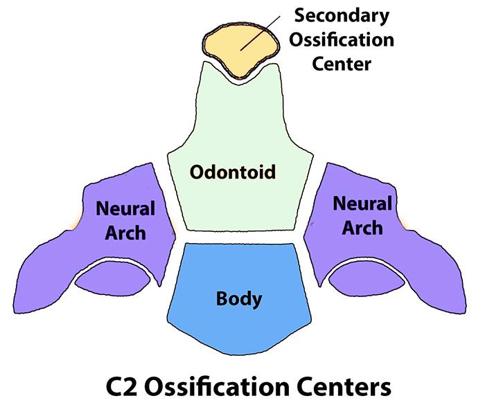 Cervical Spine Anatomy - Spine - Orthobullets