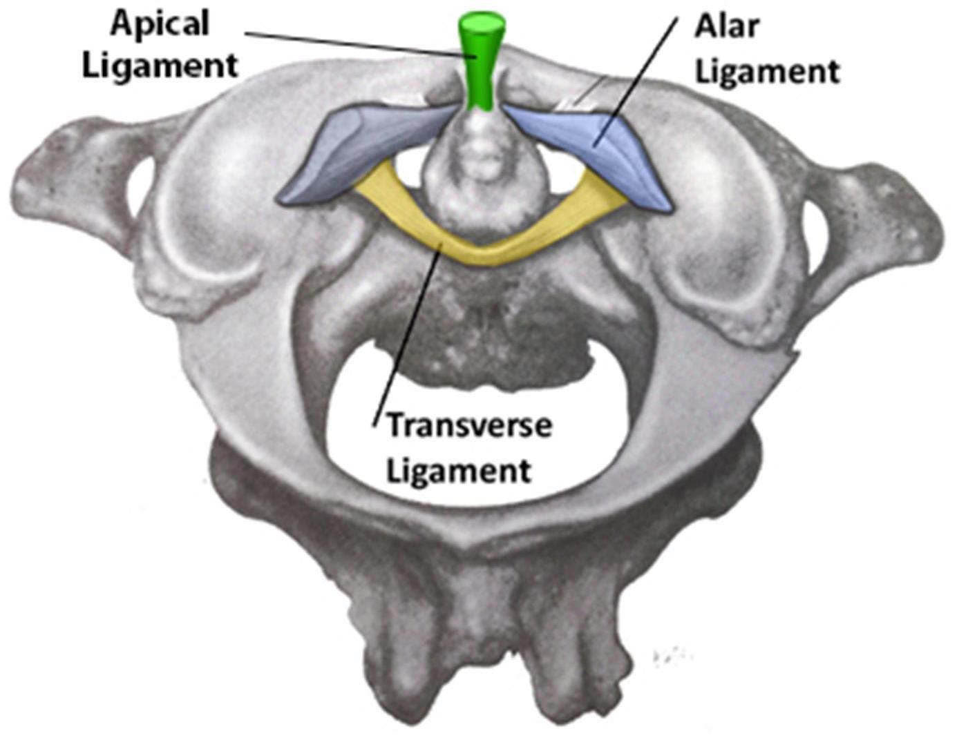 Cervical Spine Anatomy Spine Orthobullets