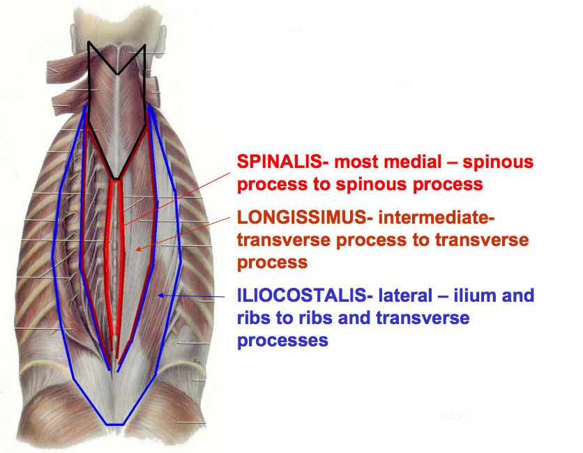 Thoracic Spine Anatomy Spine Orthobullets