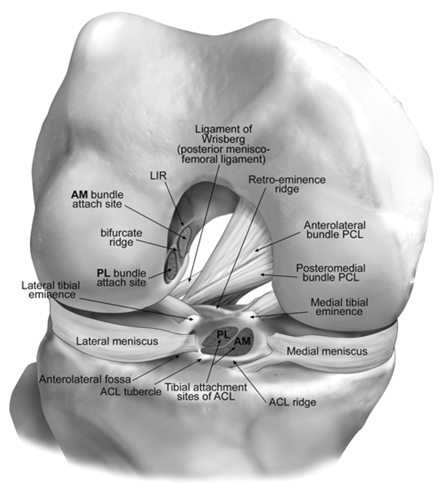 an introduction to anterior cruciate ligament injuries Introduction the anterior cruciate ligament (acl) is considered the primary  passive restraint to anterior translation of the tibia on the.