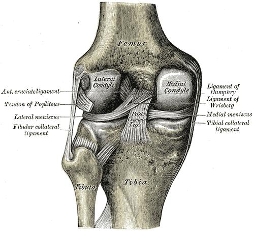 https://upload.orthobullets.com/topic/3009/images/pcl and meniscofemoral ligaments.jpg