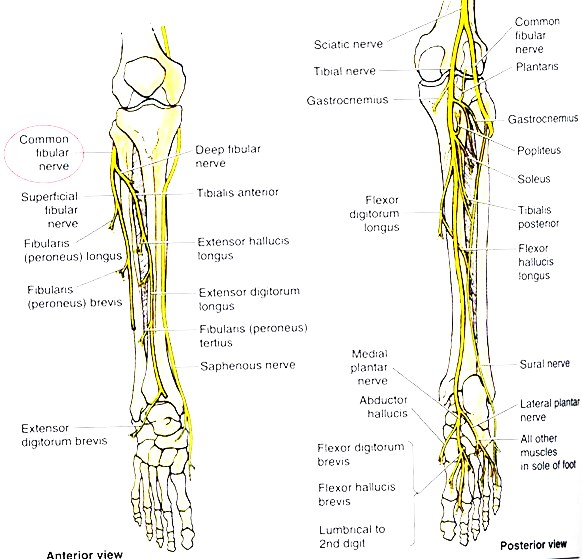 https://upload.orthobullets.com/topic/3014/images/common peroneal nerve illustration anterior and posterior views.jpg