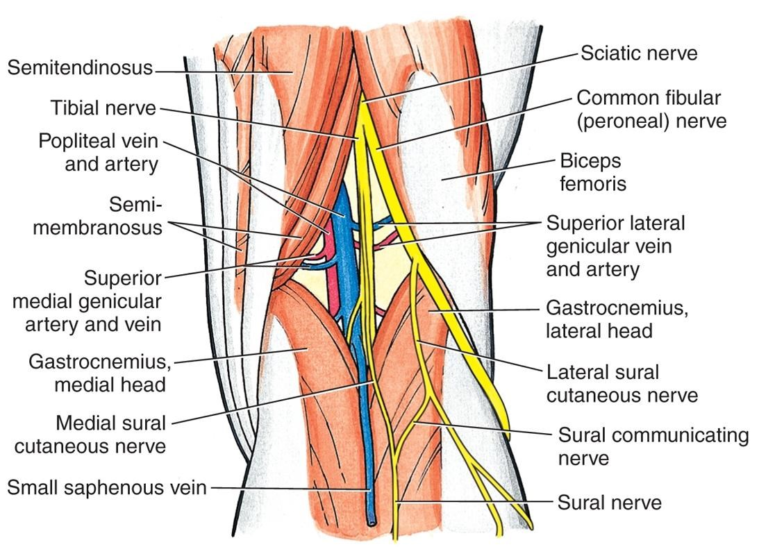 https://upload.orthobullets.com/topic/3014/images/common peroneal nerve.jpg