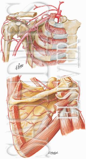 Glenohumeral Joint Anatomy Stabilizer And Biomechanics Shoulder