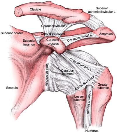 Glenohumeral Joint Anatomy, Stabilizer, and Biomechanics - Shoulder ...