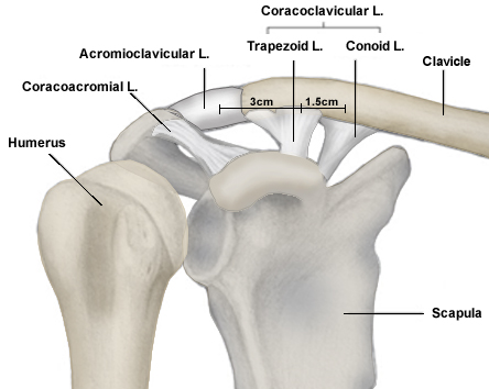 Acromioclavicular Joint - Shoulder & Elbow - Orthobullets