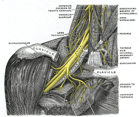 https://upload.orthobullets.com/topic/3069/images/pectoral nerves.jpg