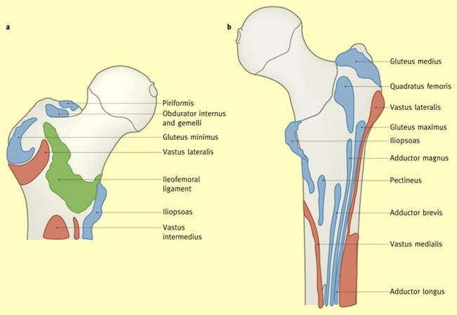 https://upload.orthobullets.com/topic/3110/images/ms insertions of femur.jpg