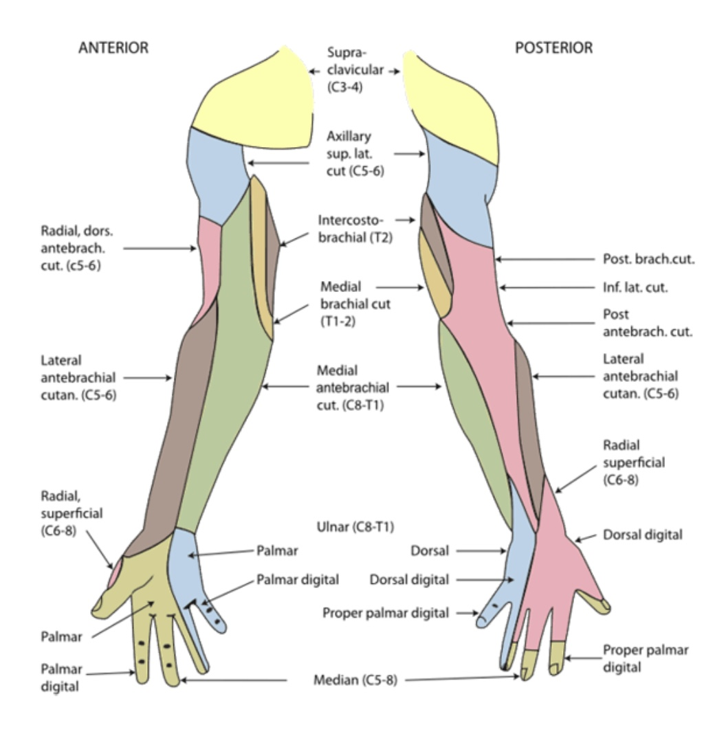 https://upload.orthobullets.com/topic/322131/images/arm_sensory_map..jpg