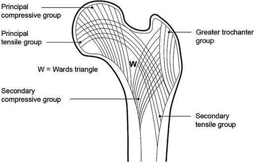 diagram femoral ward