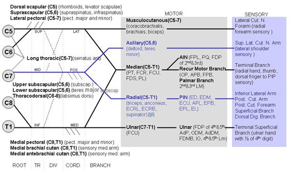 Obstetric Brachial Plexopathy (Erb's, Klumpke's Palsy