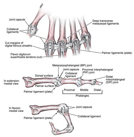 Ligaments of the Fingers - Hand - Orthobullets