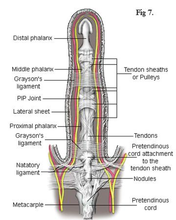 Ligaments Of The Fingers Hand Orthobullets