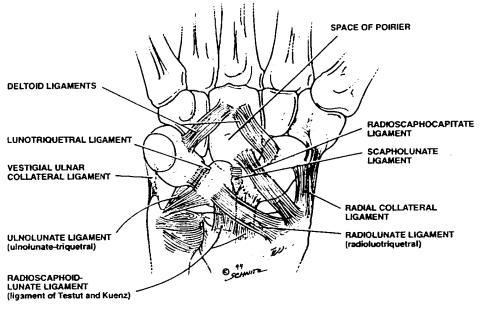 Wrist Ligaments & Biomechanics - Hand - Orthobullets