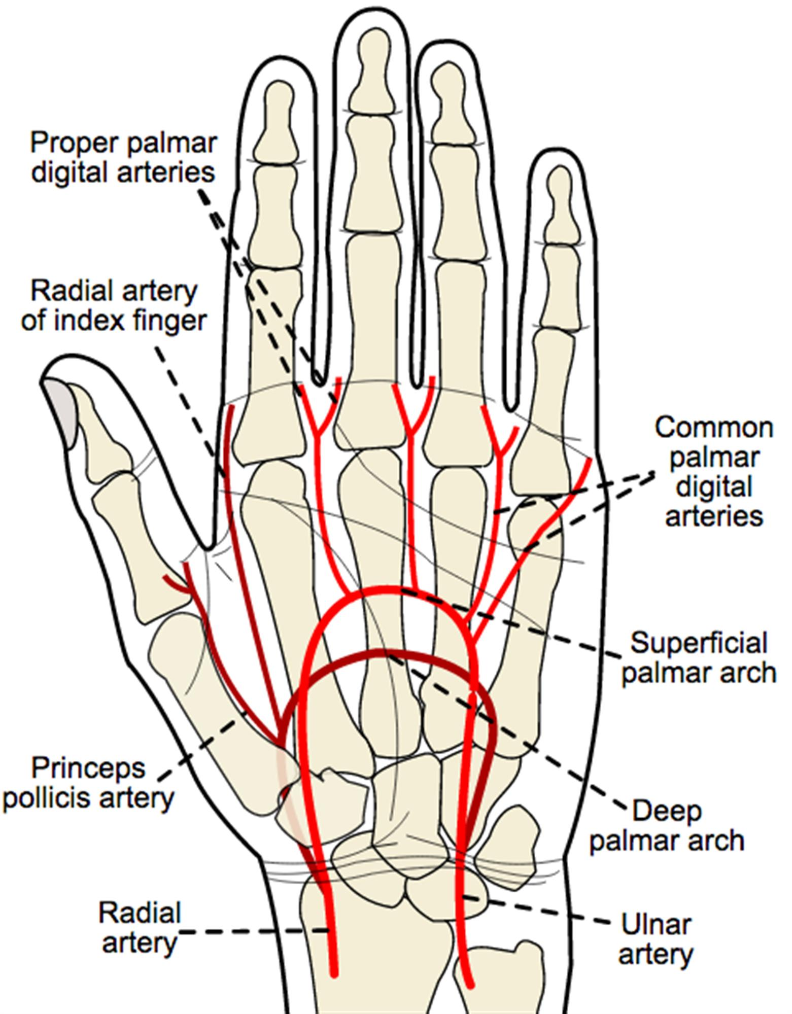 Blood Supply to Hand - Hand - Orthobullets