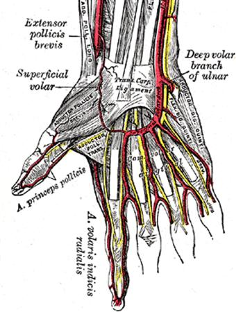 Blood Supply To Hand Hand Orthobullets