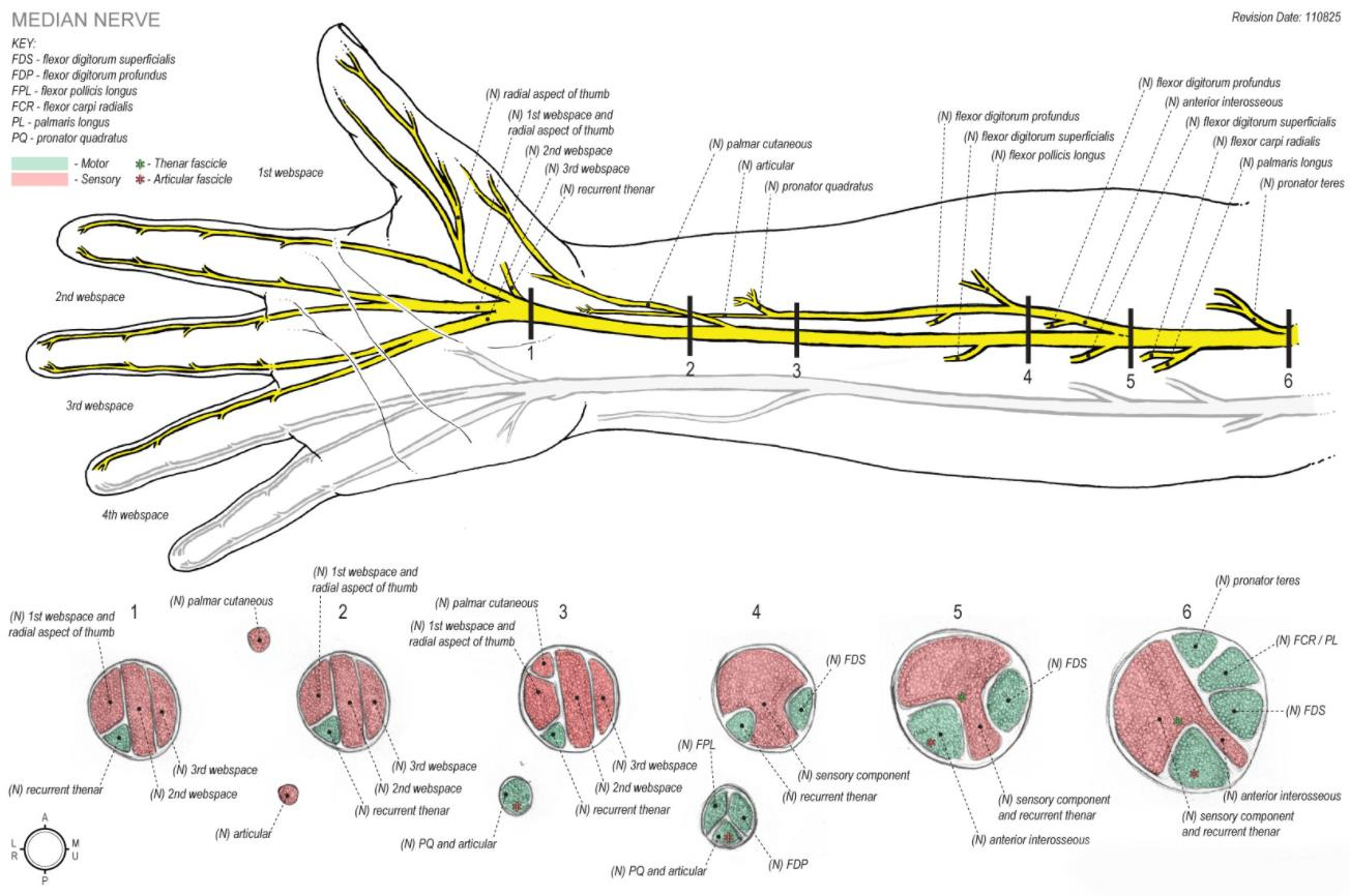 Pronator Syndrome Hand Orthobullets