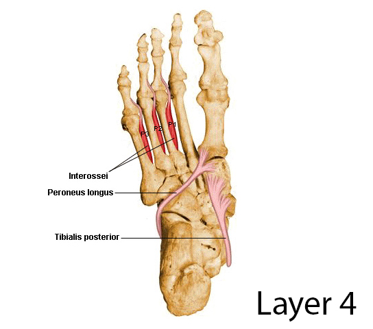 Layers Of The Plantar Foot Foot Ankle Orthobullets