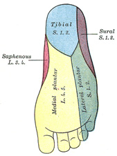 https://upload.orthobullets.com/topic/7004/images/sensory plantar foot_moved.jpg