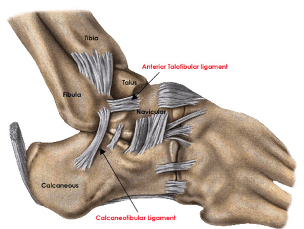 Ankle Ligaments Foot Ankle Orthobullets