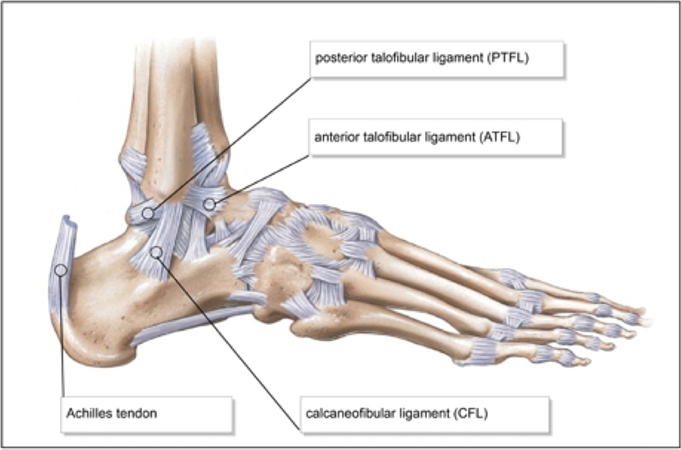 Ankle Ligaments - Foot & Ankle - Orthobullets
