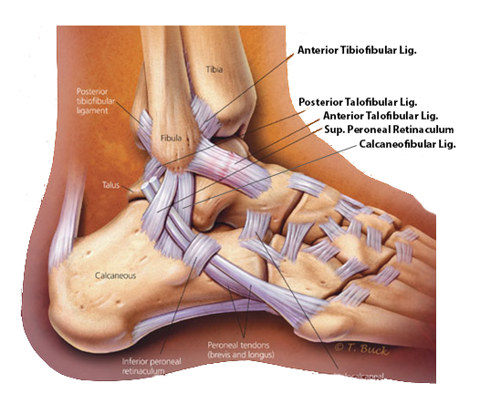 https://upload.orthobullets.com/topic/7028/images/ankle ligaments.jpg