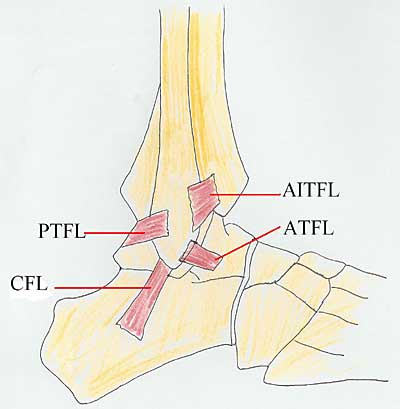 https://upload.orthobullets.com/topic/7029/images/syndesmois anatomy.jpg