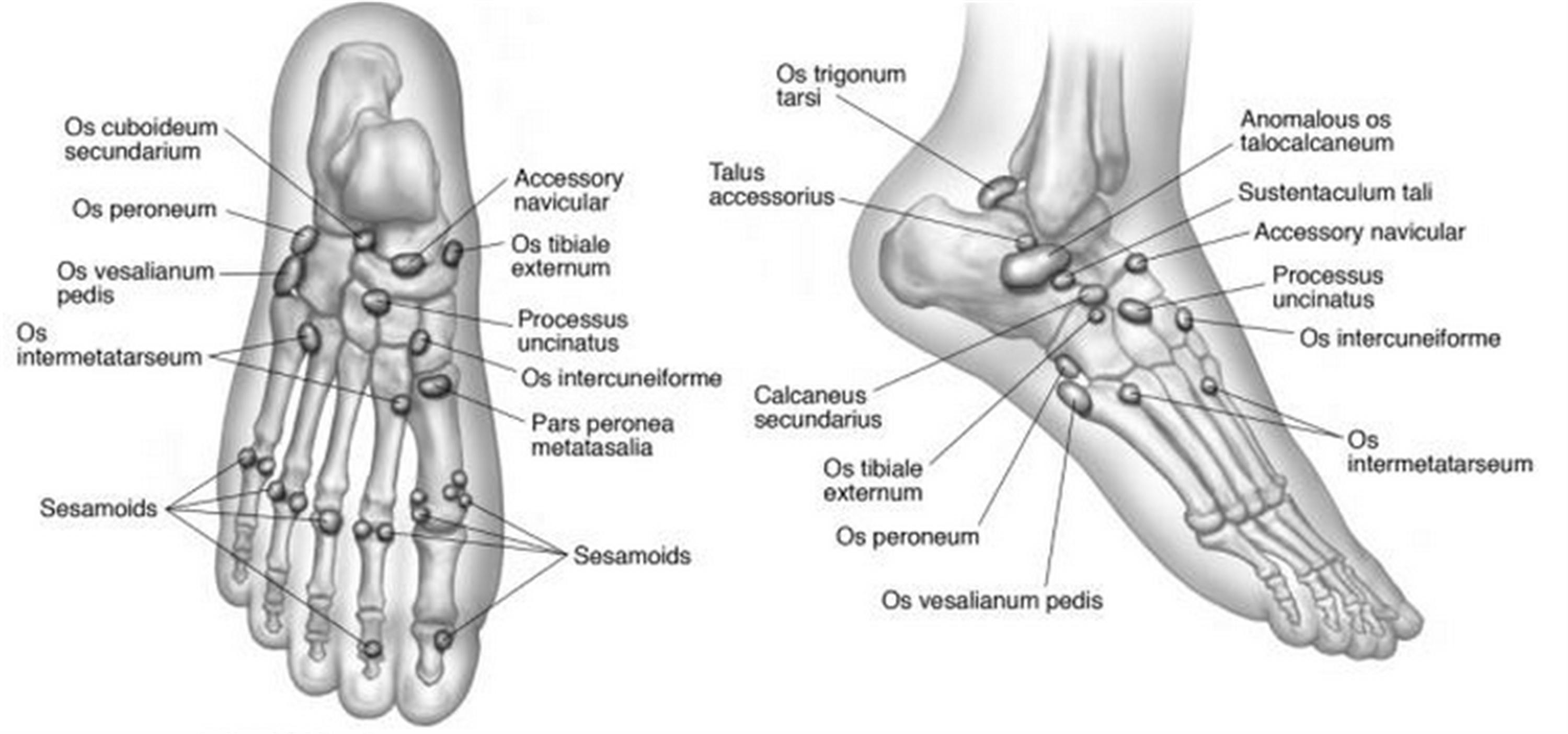 Lower Extremity Os - Foot & Ankle - Orthobullets