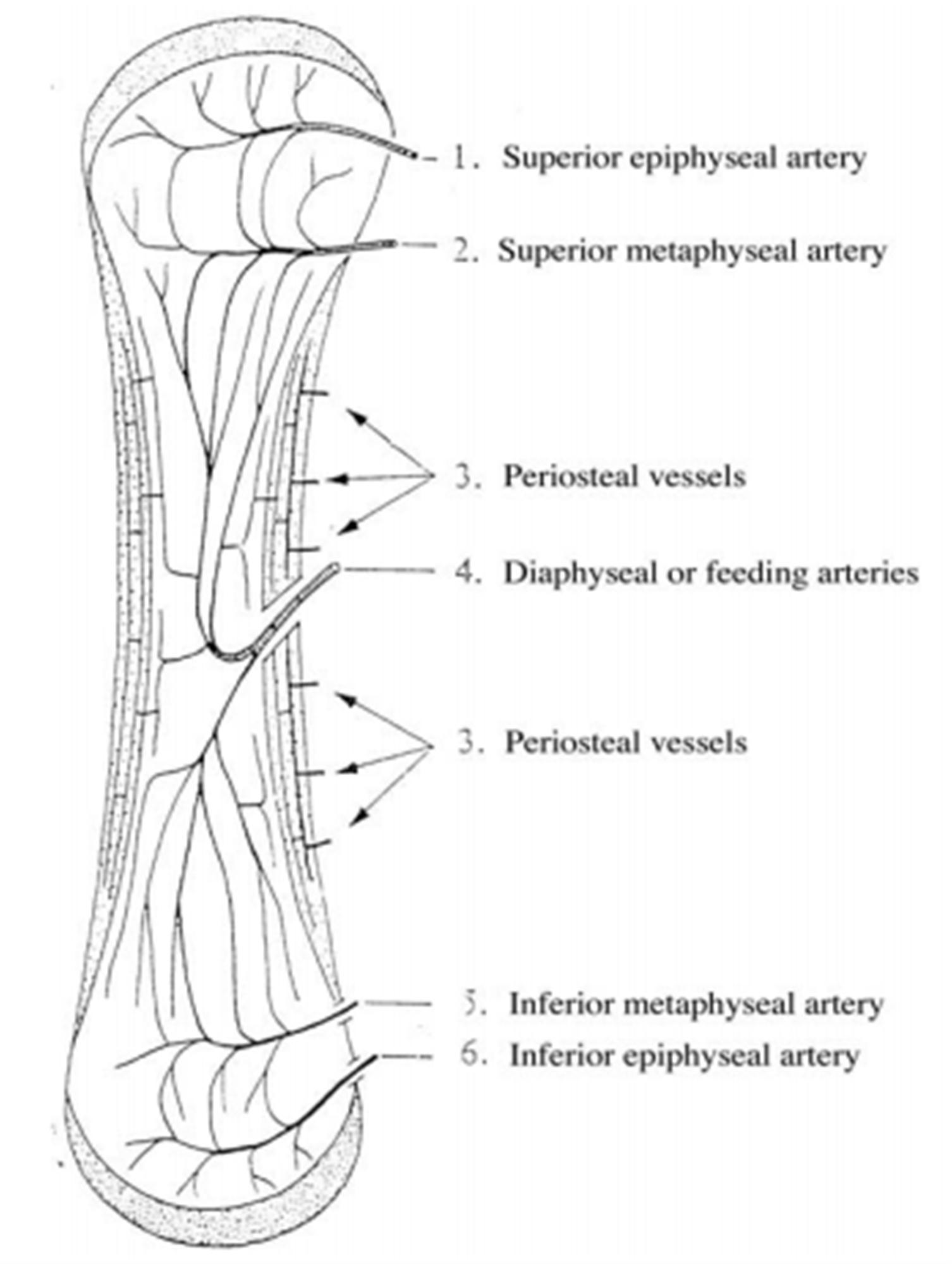 Bone Circulation - Basic Science - Orthobullets