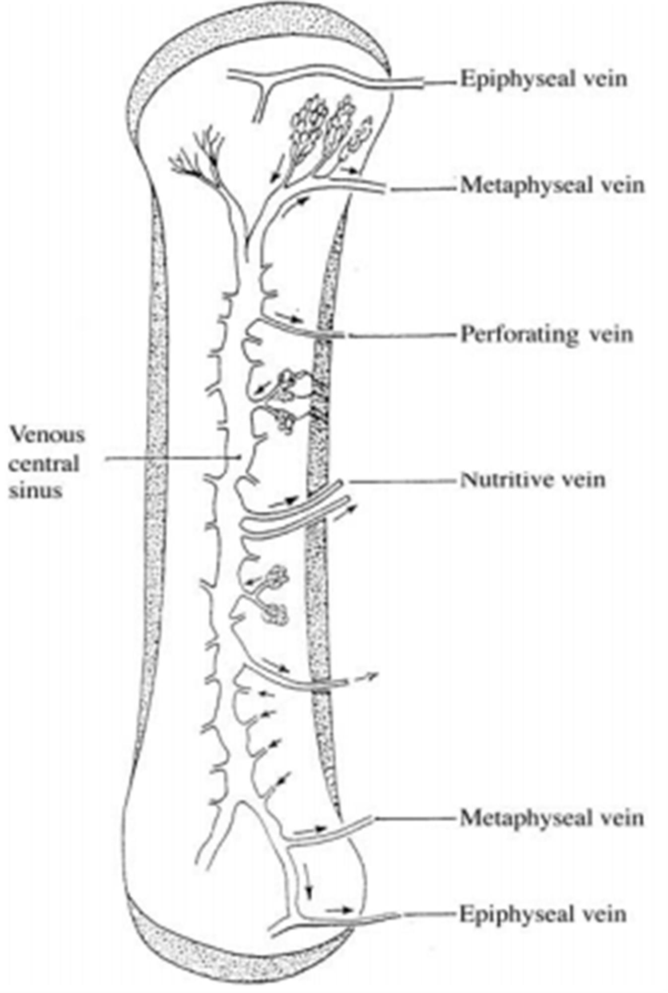 https://upload.orthobullets.com/topic/9005/images/venous vascularization of long bone.jpg
