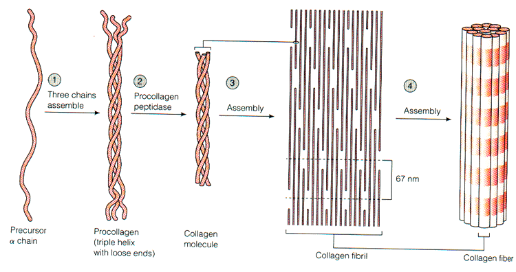 https://upload.orthobullets.com/topic/9013/images/collagen processing.jpg