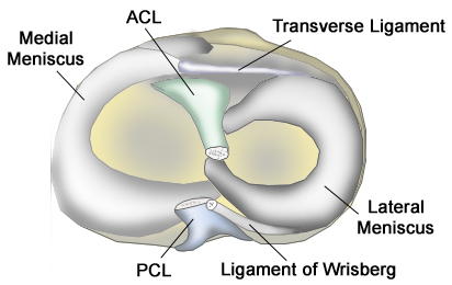 https://upload.orthobullets.com/topic/9019/images/Meniscus Anatomy JPG_moved.jpg