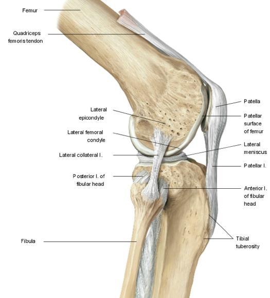 Knee biomechanics recon orthobullets lateral collateral ligament ccuart Choice Image