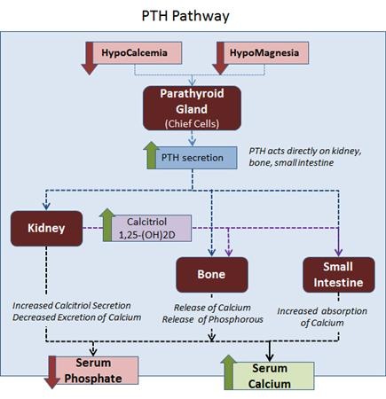 Pth Vit D Physiology Basic Science Orthobullets. Pth Physiology. Wiring. Bones In Calcium Homeostasis Diagram At Scoala.co